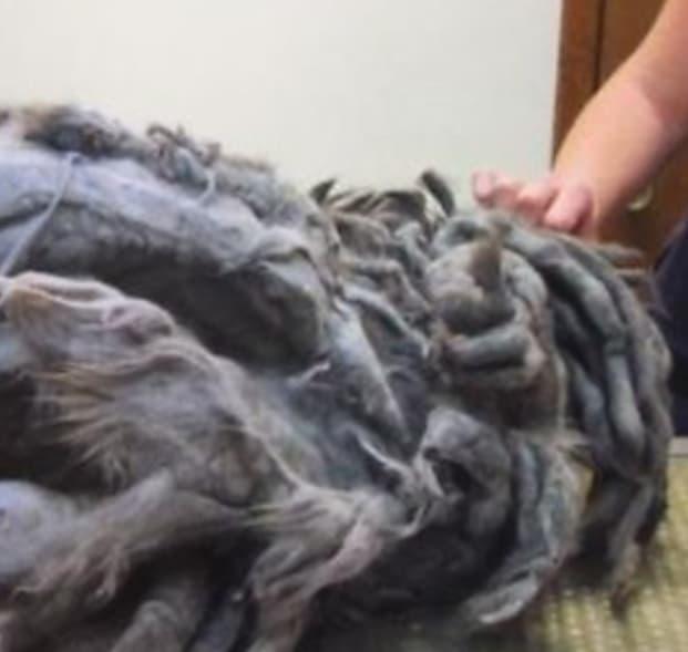 털을 깎기 위해 마취제를 투여한 수의사