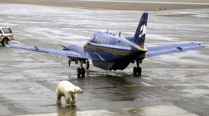 Bear On The Runway