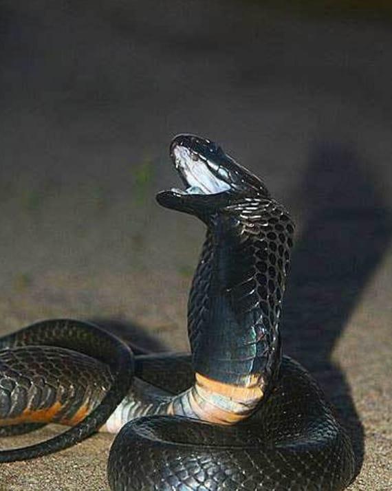 Black Necked Spitting Cobra