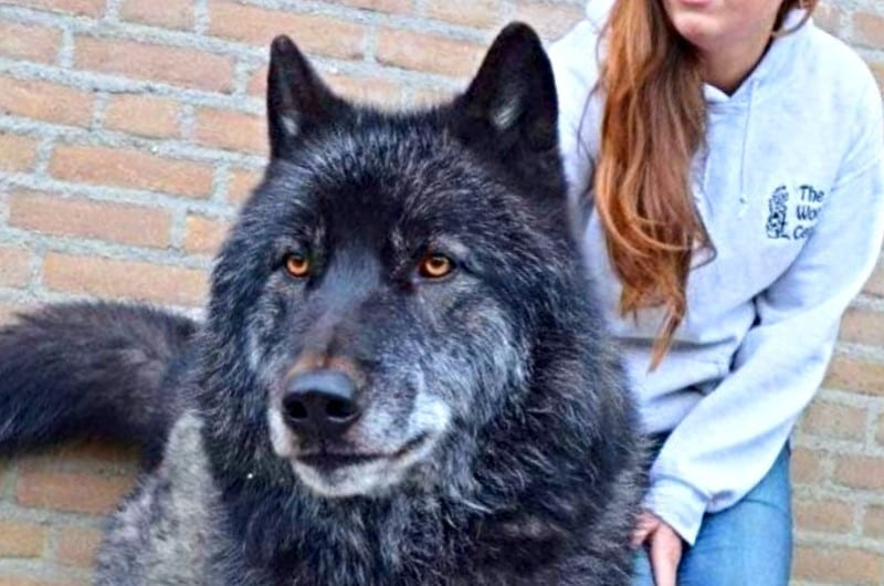 Raising Awareness About Wolfdogs