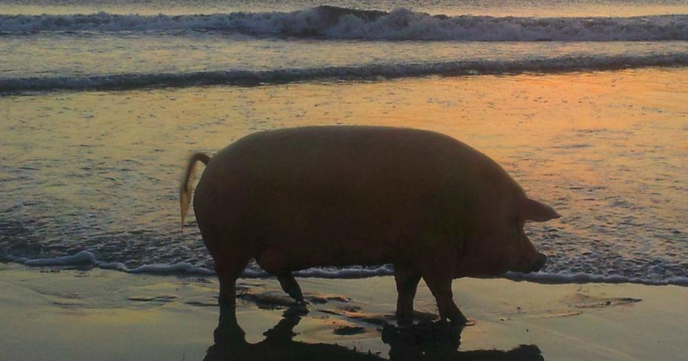 Dramatic Pig
