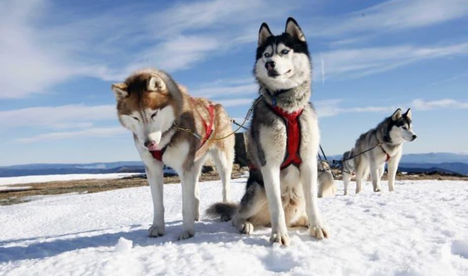 10 Husky Do Alasca