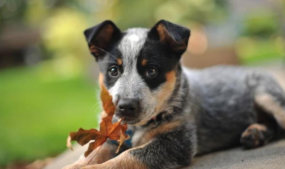 21 Cão De Gado Australiano
