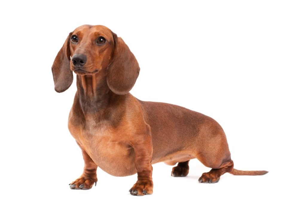 Dachshund Standard Smooth