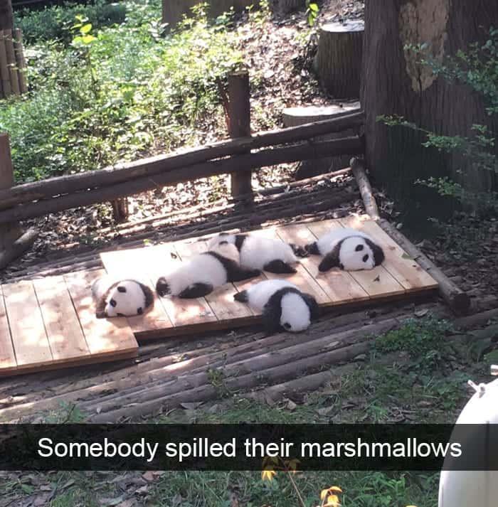 Pandas Napping Peacefully