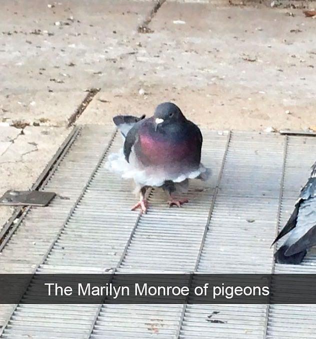 Marilyn Monroe As A Pigeon