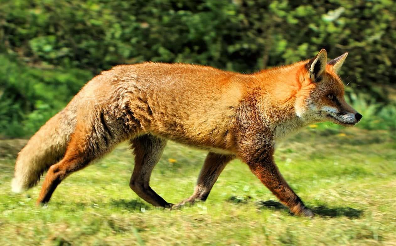 West European Fox