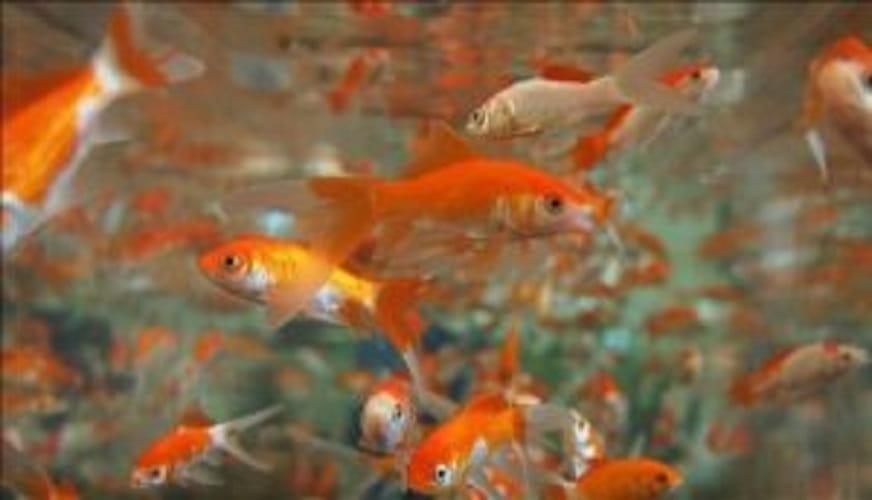 Contando Os Peixes