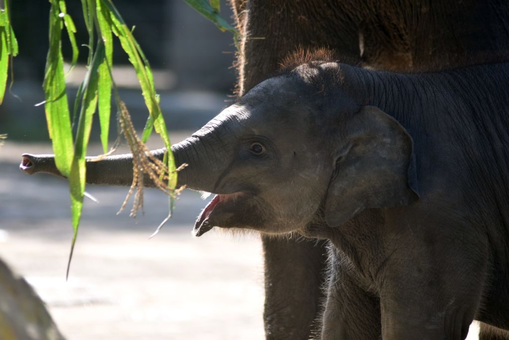 New Born Baby Elephants At Batu Secret Zoo, Indonesia