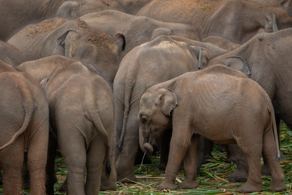 The Elephant In Udawalawe National Park