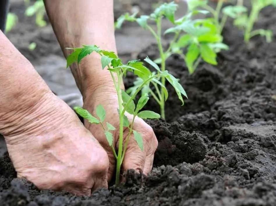 Les Racines Des Tomates Doivent être Profondément Plantées Dans La Terre