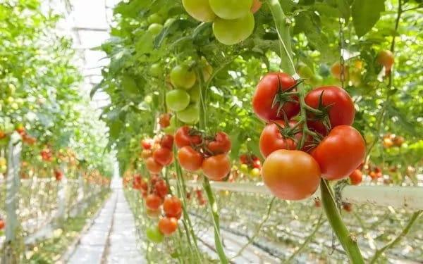 De L'espace Pour Vos Tomates