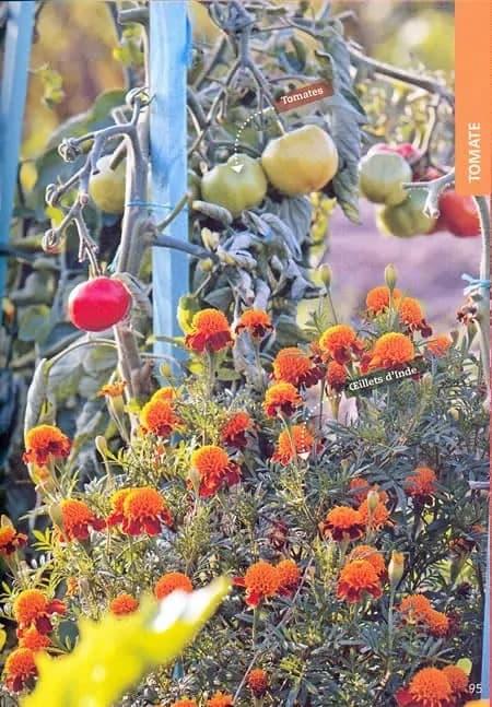Des Tomates Accompagnées