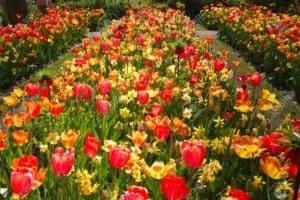 Protégez Vos Tulipes
