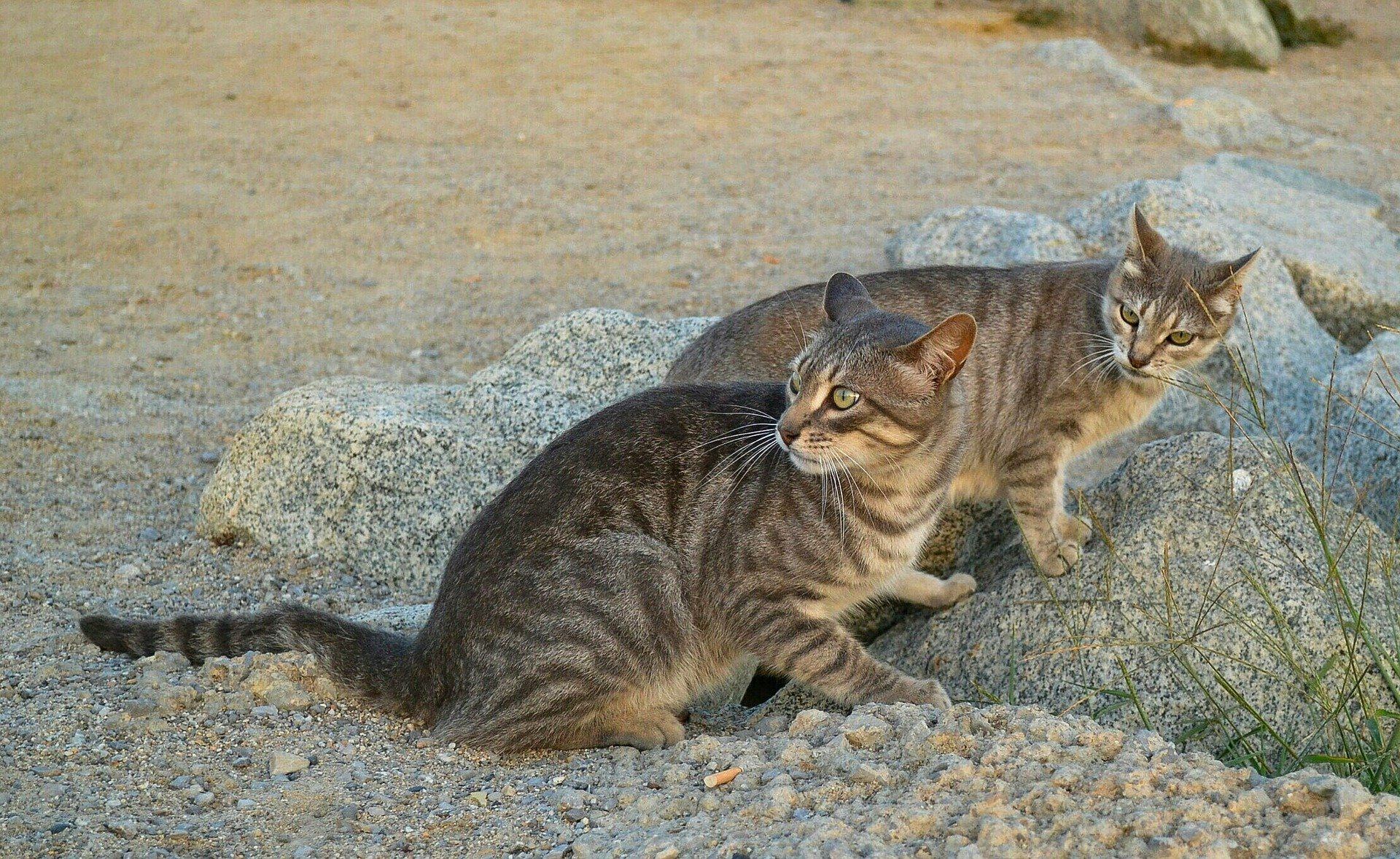 Feral Cats Prevent Rodent Problems