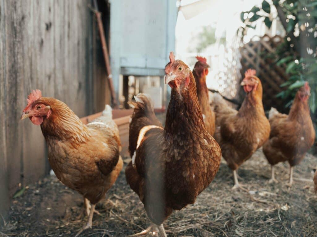 Hidden Chickens