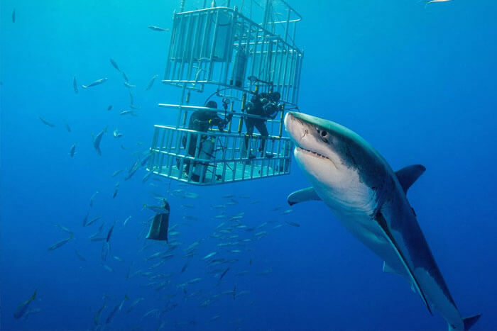 Just How Great Are The Biggest Great White Sharks In All Of History