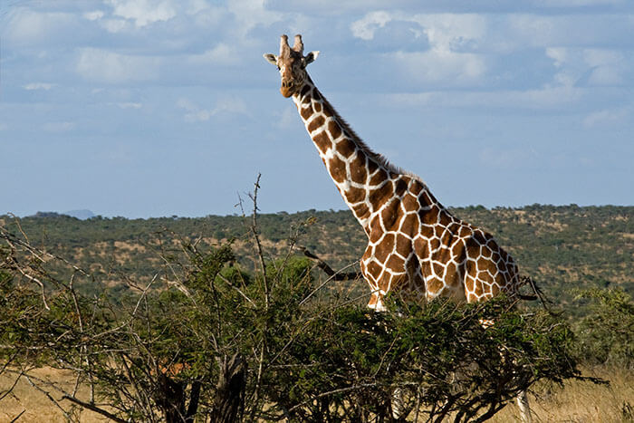 Giraffes Are Roughly As Tall As Bungalows