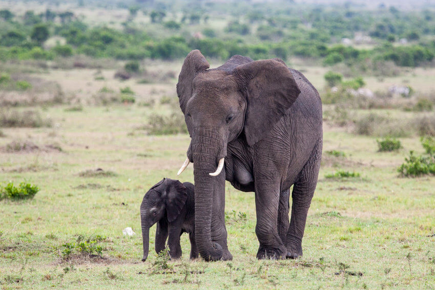 The Biggest Living Land Animal Is The African Elephant