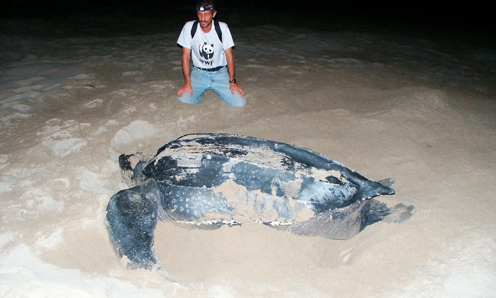 The Biggest Sea Turtle In The World Is The Leatherback