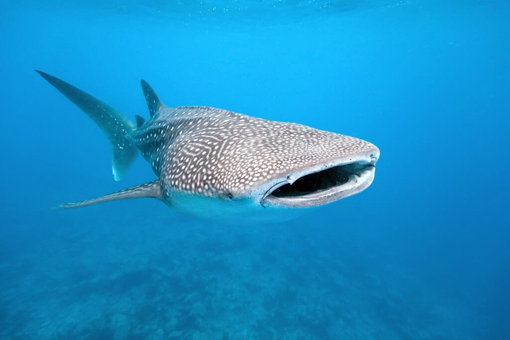 The Whale Shark Is Another Gentle Giant