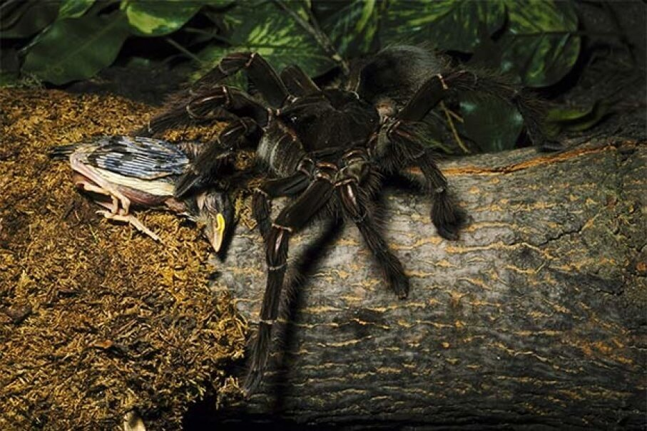 The Goliath Spider Is The Biggest Spider Out There