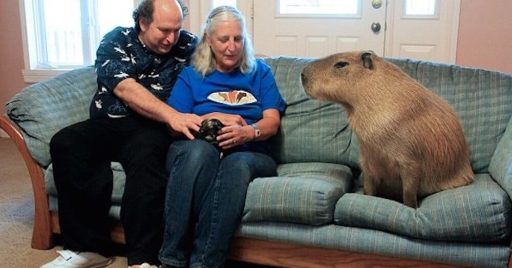 Gary The Capybara Is The Largest Pet Rodent