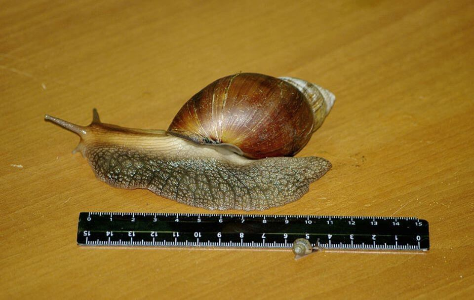 The Giant African Snail Is The Biggest Land Snail