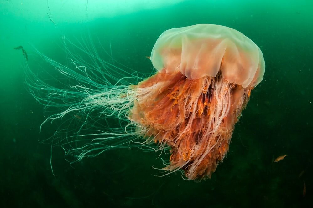 The Biggest Jellyfish You Will Ever Find
