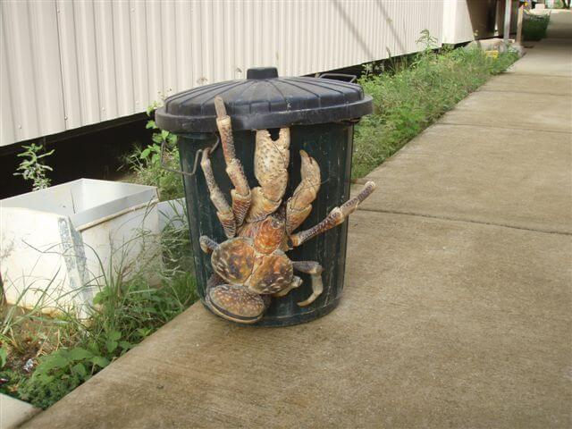 The Coconut Crab Can Grow Up To 3 Feet Long