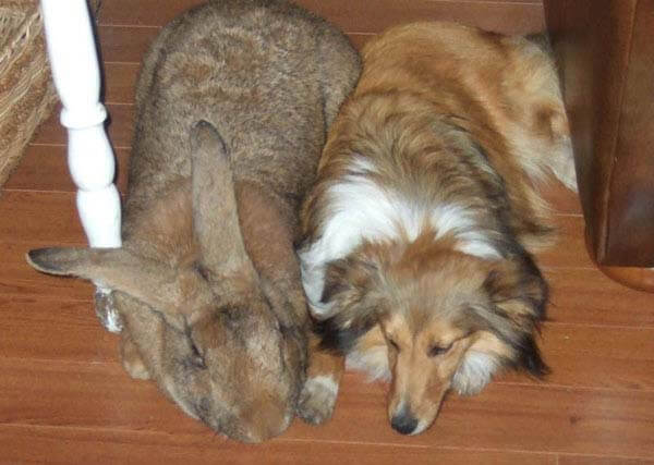 This Flemish Giant Rabbit Is The Same Size As A Collie