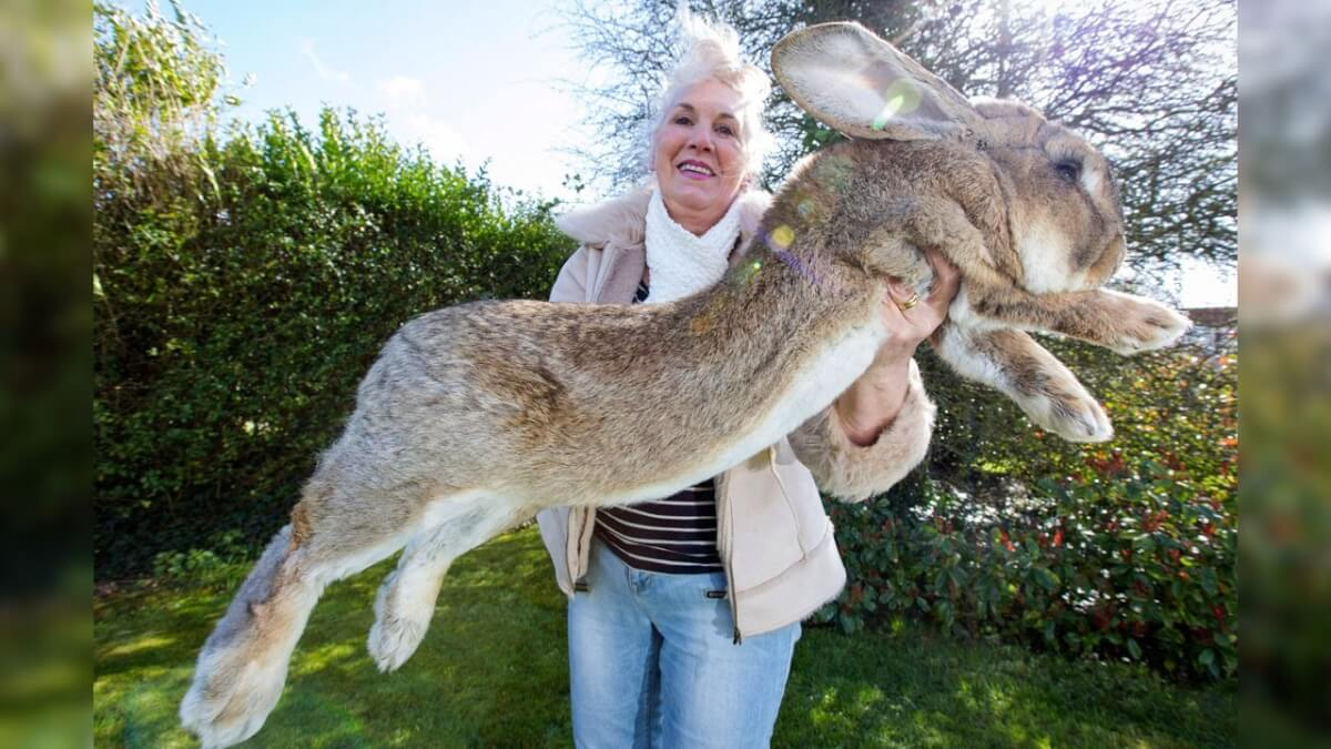 Meet The Biggest Bunnies In The World