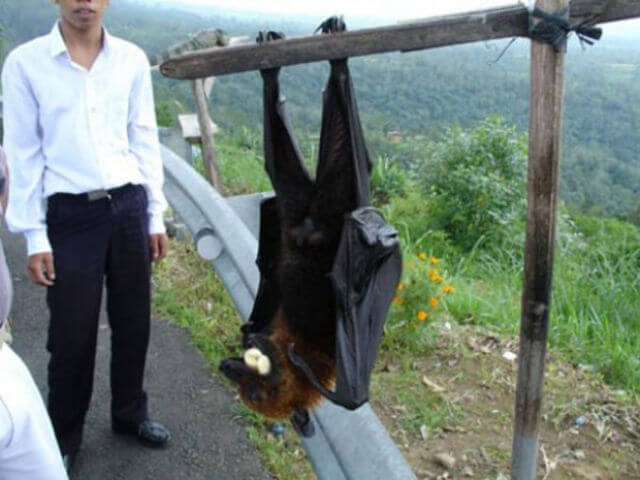 The Bismarck Flying Fox Of Papua New Guinea