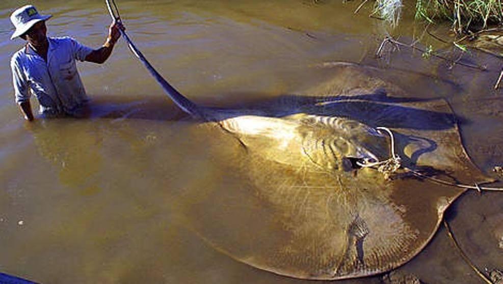 The Terrifying Giant Freshwater Stingray