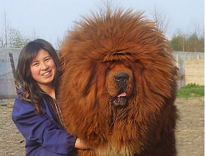 A Tibetan Mastiff Is The Best Expensive Dog In The World