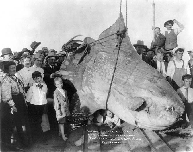 The Ocean Sunfish Is The Biggest Fish On Earth