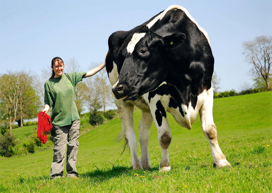 Chilli The Giant Cow Is Taller Than Other Bovines