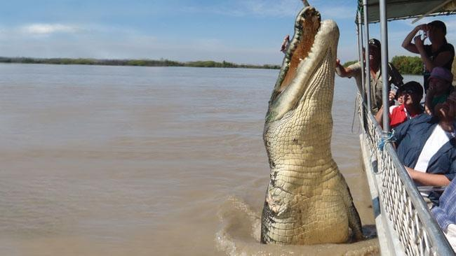 This Saltwater Crocodile Eats Bull Sharks