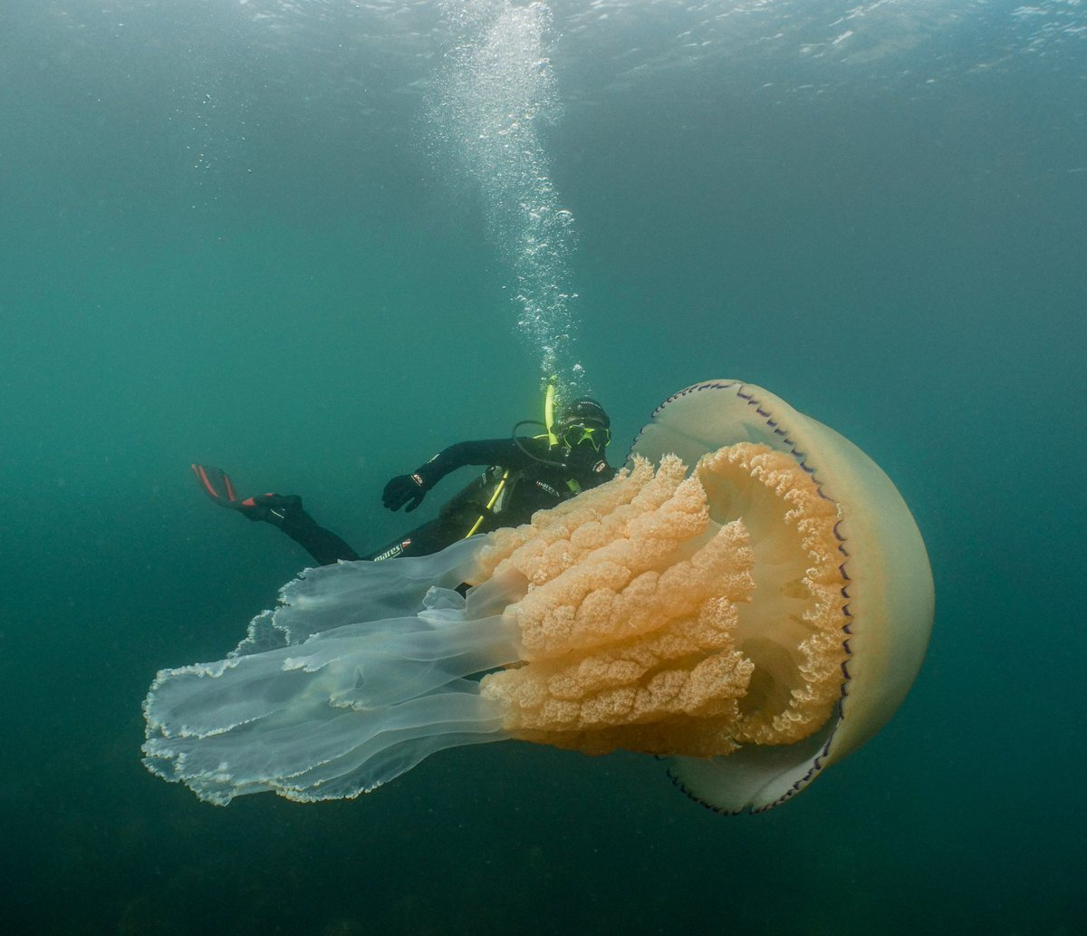 This Jellyfish Is Bigger Than An Adult Human