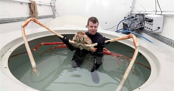 Look At The Legs Of The Japanese Spider Crab
