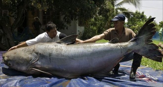 The Endangered Giant Mekong Catfish