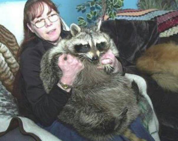A Thyroid Problem Made Bandit The Fattest Raccoon Ever