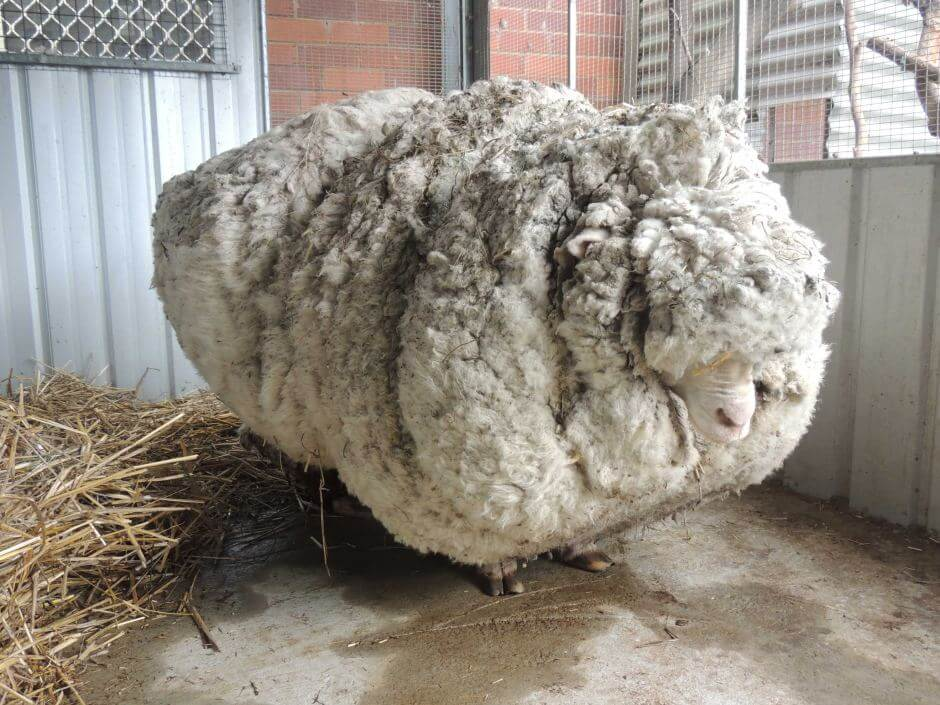 They Shaved 88 Pounds Of Wool From Chris The Sheep