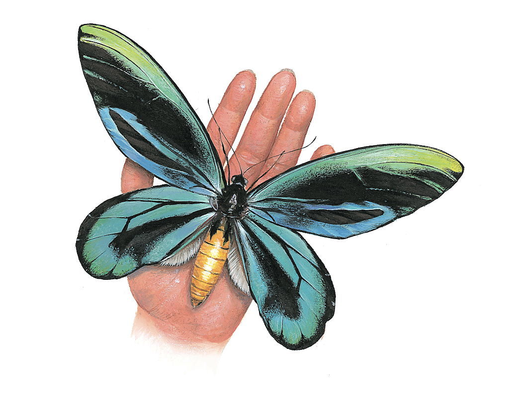 The Largest Butterfly On The Planet Is A Lady