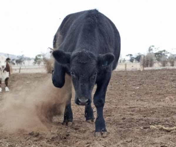 El Ataque De Un Toro