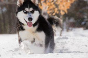 I Siberian Husky