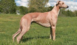 Il Greyhound