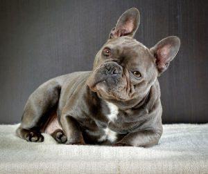 Il Bulldog Francese