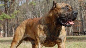 Il cane da presa canario
