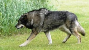 L'American Wolfdog
